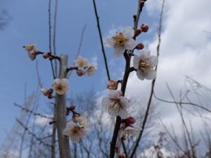 4edc8d491674ddf75dd204e8e6d45b02 300x225 城陽市の木は梅です