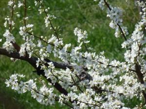 P3190816 300x225 春告鳥